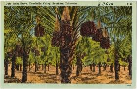 2013-10-4-date-palm-postcard