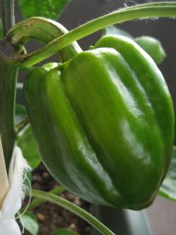 2013-12-3-green-pepper