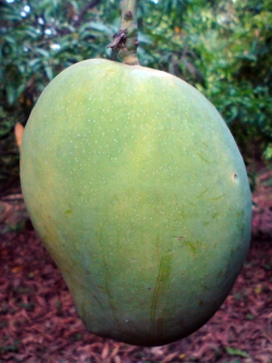 2013-12-3-unripe-mango