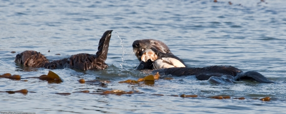 Sea Otter Mother with Pup Sharing Pismo Clam Dinner Morro Bay CA 14 Dec 2009