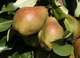 2013-12-26-kieffer-pears