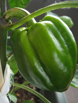 2013-12-3-green-pepper