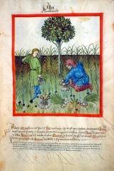 2013-5-23-harvesting-garlic