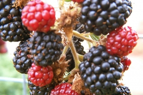 2013-9-28-boysenberries