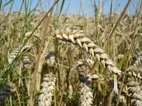 2014-5-19-wheat